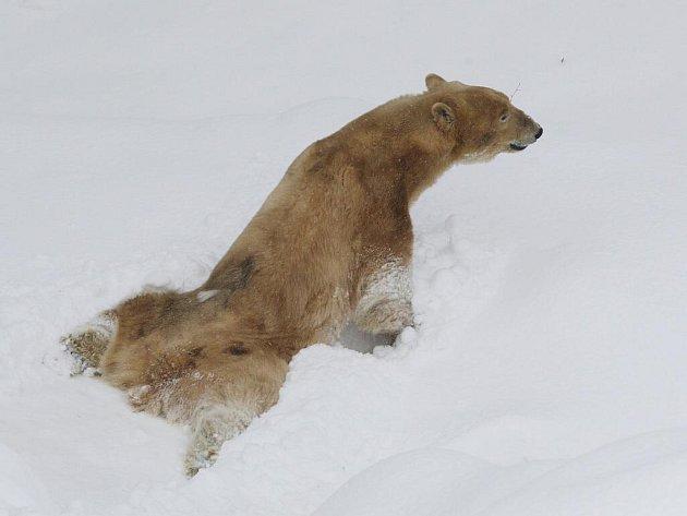 Lední medvědice Cora v brněnské zoologické zahradě.