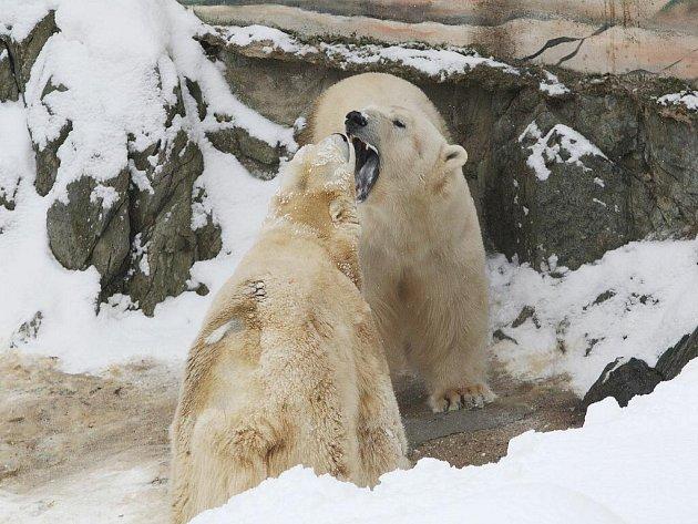 Lední medvěd Umca s Corou v brněnské zoologické zahradě.