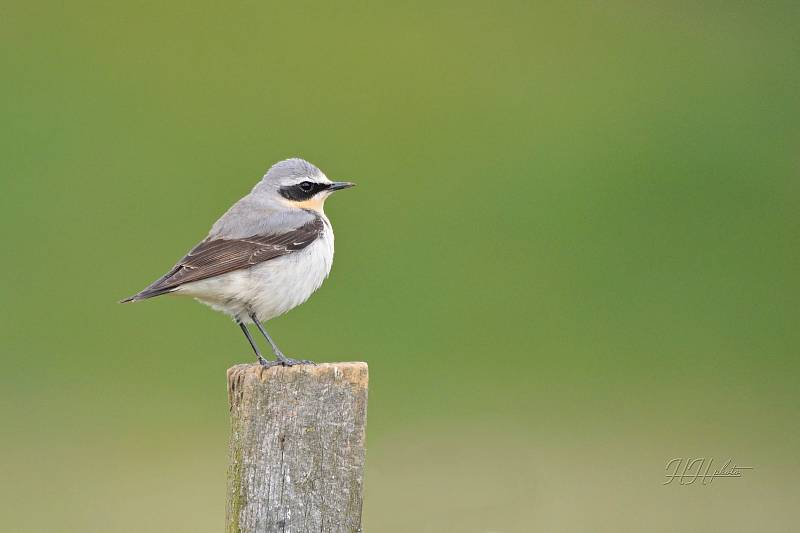 Zachycení ptáků v přírodě je pokaždé plné překvapení. Na snímku je bělořit šedý.