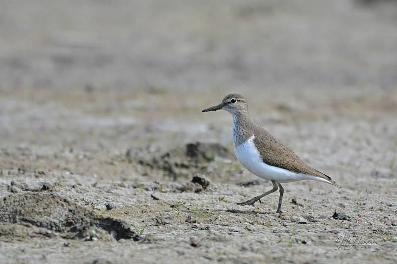 Zachycení ptáků v přírodě je pokaždé plné překvapení. Na snímku je pislík obecný.
