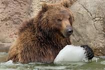 V sobotu nejen brněnská zoologická zahrada slavila světový den divoké přírody. Levhartice lidem ukázala tříměsíční mládě, medvědi se radostně klouzali po zamrzlém jezírku a hráli si s ledem.