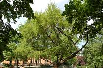 Brněnský strom roku - Jinan dvoulaločný.