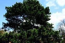 Brněnský strom roku - Borovice Černá