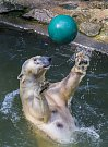 Lední medvěd v brněnské zoo.