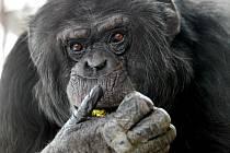 Trojice brněnských šimpanzů najde dočasný domov v hodonínské zoo.