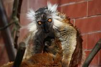 Lemur tmavý v brněnské zoo.