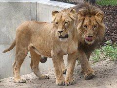 Lvi Lolek a Kivu v brněnské zoo.