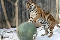 Tygřice Satu v brněnské zoo.