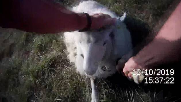 Ovce na Stránské skála uvízla v trní. Vysvobodili ji strážníci.