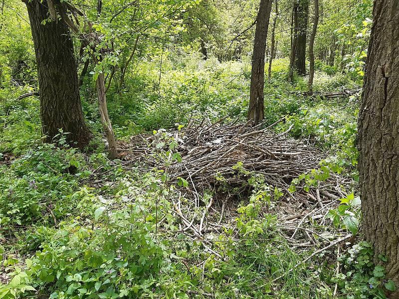 Dvě mláďata orla mořského spadla i s hnízdem v oboře Soutok na Břeclavsku. Zlomila si křídla.