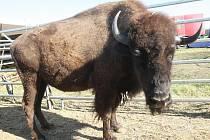 Na stádo tunových bizonů pobíhajících v šapitó láká jedinečná show, která přijela do Brna.