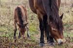 Divocí koně opět osídlili moravské pastviny