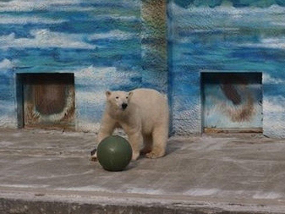 Medvědice Kometa v zoologické zahradě v Rostovu na Donu.
