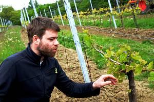 Mladý vinohrad. Ilustrační foto.