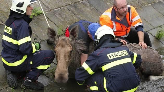 Samice losa se zaběhla i s mládětem do Brna. Odborníci zvířata za asistence hasičů a policistů uspali. V důsledku stresu ale obě uhynula.