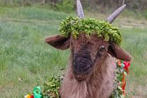 Tradiční vynášení Hroznového kozla ze Znojma do vinic u Konic opět přilákalo víc než stovku účastníků.