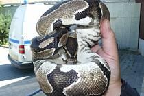 Hrůzný zážitek čekal v noci na středu rodinu z brněnských Řečkovic. Muž a žena po probuzení zjistili, že mají v bytě exotického hada.
