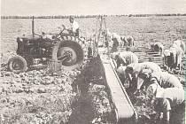 Práci na poli se při dozrávání okurek nevyhnuli v sedmdesátých a osmdesátých letech minulého století ani pracovníci z kanceláří znojemských podniků.