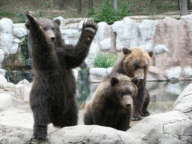 Mláďatům medvěda kamčatského se v brněnské zoo daří dobře.