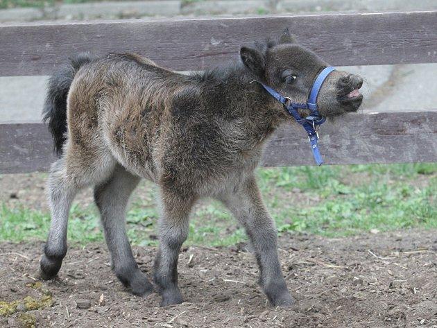 Brněnská zoo hlásí další přírůstek. Narodilo se tam mládě koně domácího mini appaloosa. Samec dostal jméno Geronimo.