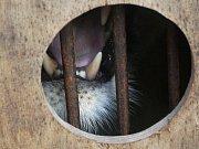 Lvice Kivu už je v Brně. Dojela ze zoo v Ústí nad Labem. Cesta dodávkou trvala několik hodin, podle chovatelů byla bezproblémová.