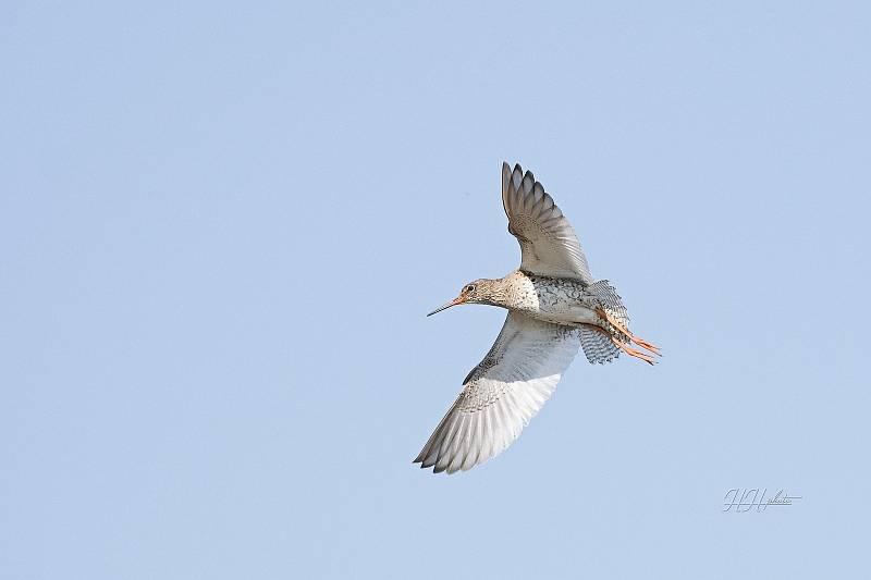 Zachycení ptáků v přírodě je pokaždé plné překvapení. Na snímku je vodouš rudonohý.