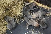 Pět mláďat vlka arktického v brněnské zoologické zahradě.