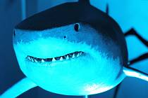 Krakatice, žraloky nebo třeba mantu a běluhu si mohou Brňané nově prohlédnout v Obchodním Centru Letmo. Výstavu Obři oceánů mohou navštívit do konce listopadu v době, kdy je centrum otevřené.