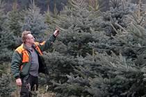 Pracovníci Lesů města Brna mají před sebou náročný týden. Začínají vyřezávat vánoční stromky, které se za pár týdnů rozsvítí v brněnských domácnostech.