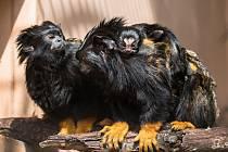 Páru tamarínů žlutorukých v brněnské zoologické zahradě narodila mláďata.