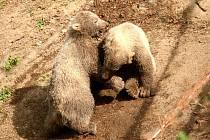 Křest ledních medvědů v brněnské zoo.