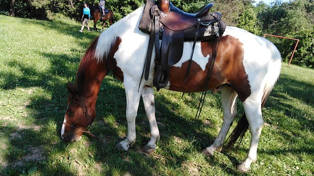 Kůň s westernovým postrojem.