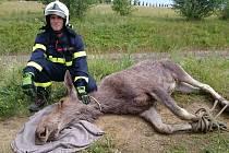 Los běhal po Brně. Odborníci ho museli za asistence hasičů a policistů uspat. Zvíře ale nakonec v důsledku stresu pošlo.
