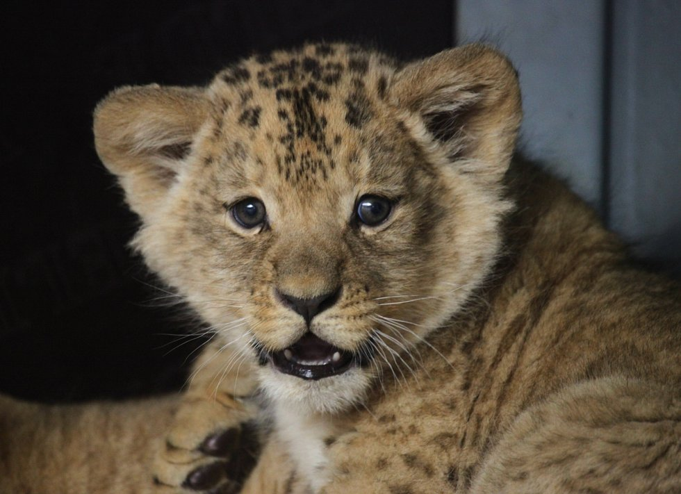 Samec a samička, určil v pondělí veterinář po týdnech čekání pohlaví dvou lvíčat, která se narodila na konci minulého roku v brněnské zoo.