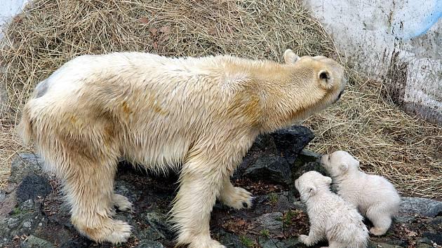 Medvědice Cora s malými medvíďaty.
