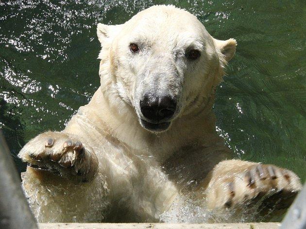 Lední medvěd Umca.