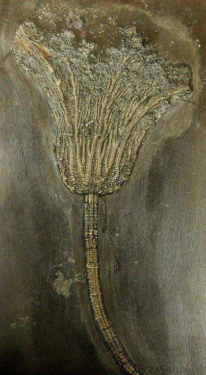 Restaurované fosílie paleontologické sbírky brněnské Masarykovy univerzity.