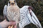 V Hrušovanech u Brna odchytili poštolku se zlomeným křídlem. Našli ji, jak sedí na popínavé rostlině.