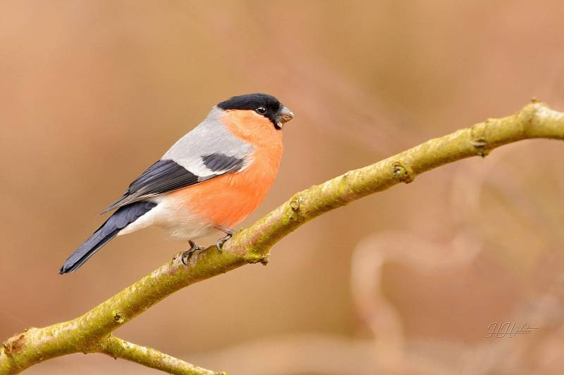 Zachycení ptáků v přírodě je pokaždé plné překvapení. Na snímku je hýl obecný.