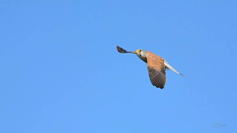 Zachycení ptáků v přírodě je pokaždé plné překvapení. Na snímku je poštolka obecná.