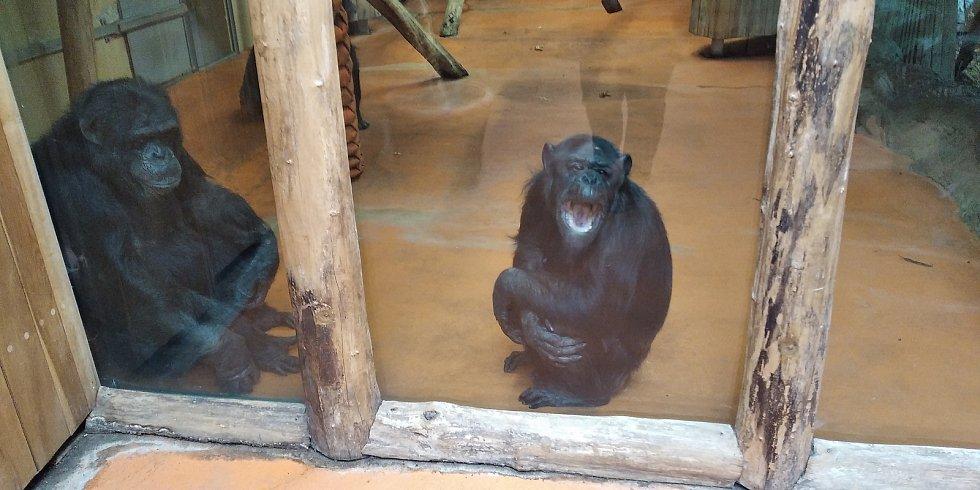 Přes obrazovku se propojili šimpanzi z Brna a z Dvora Králové.