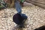 V zoo se narodila vzácná želva. Hosty překvapí i největší druh holuba na světě