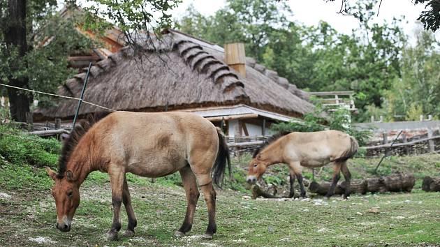 Koně Převalského se vrací do Brna. Zoo má dvě nové klisny