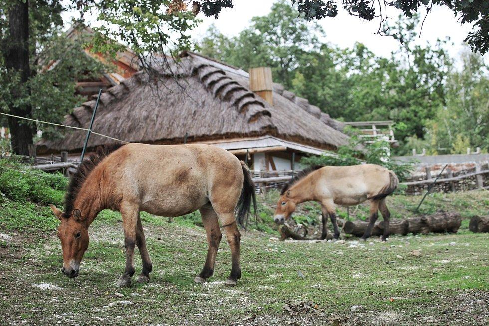 V brněnské zoo jsou nově k vidění dvě klisny koně Převalského, které do Brna dorazily z pražské zoologické zahrady.
