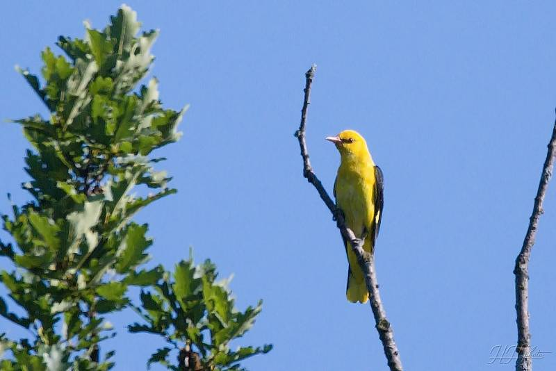 Zachycení ptáků v přírodě je pokaždé plné překvapení. Na snímku je žluha hajní.