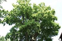 Stromem roku 2009 se stala lípa z Libereckého kraje.