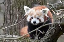 Panda z brněnské zoo.
