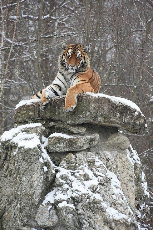 Tygřici ussurijskou z hodonínské zoo převezli do nového domova ve Velké Británií.