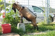Kozlík plemene kamerunské kozy.