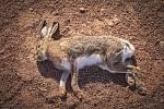 Uhynulý zajíc.